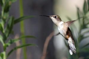 hummingbird-371308_1920
